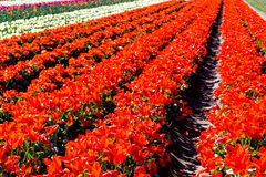 Rows of Red Tulips Stock Images