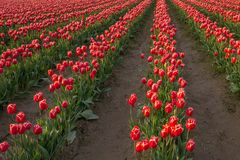 Rows of red and white tulips grow in field royalty free stock images