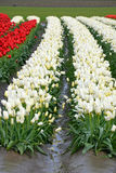 Rows of red and white tulips Stock Photos