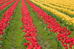 Rows of red and yellow tulips in a field Stock Photography