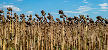 Rows of ripe sunflowers in autumnal organic field Stock Image