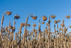 Rows of ripe sunflowers in autumnal organic field Royalty Free Stock Images