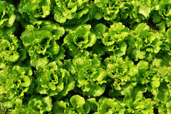 Rows of romaine lettuce. Green romaine lettuce in garden  before harvest Stock Photos
