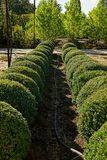 Rows of round decorative bushes and a watering hose on the ground Royalty Free Stock Photos