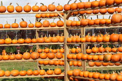 Rows and rows of baby pumpkins Stock Images