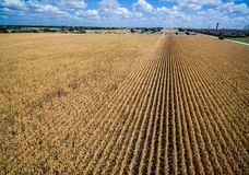 Rows and Rows of brown Crops fields ending life Summer time in Texas Drought Royalty Free Stock Images