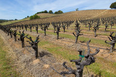 Rows of dormant old-vine Zinfandel vines in Sonoma County California. Rows and rows of dormant Zinfandel vines in Geyserville, California, in Sonoma County Royalty Free Stock Photo