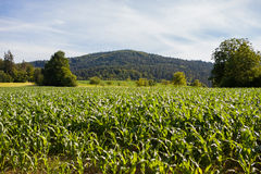 Rows and Rows of fresh growing corn. Field and mountains in background and blue skies Stock Photography