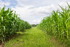 Rows and Rows of fresh unpicked corn Stock Image