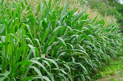 Rows and Rows of fresh unpicked corn. Royalty Free Stock Image