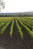 Rows and rows of grapevines in a vineyard Royalty Free Stock Photography