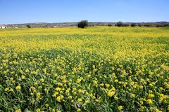 Rows and rows of mustard flowers Stock Photo