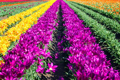 Rows and rows of Tulips Stock Photography