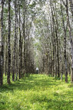 Rows of rubber tree Stock Image