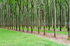 Rows of Rubber trees Royalty Free Stock Photos
