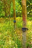 Rows of rubber trees being tapped in a plantation Stock Photography