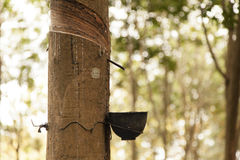 Rows of rubber trees Royalty Free Stock Photo