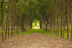 Rows of rubber trees Stock Photos