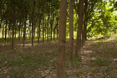 Rows of rubber trees Royalty Free Stock Images