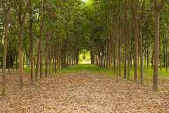 Rows of rubber trees Stock Images