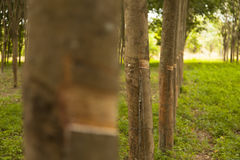 Rows of rubber trees Stock Image