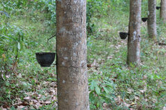 Rows of rubber trees, Eastern Thailand. Closeup of Rows of rubber trees, Eastern Thailand Royalty Free Stock Image