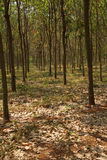 Rows of rubber trees Royalty Free Stock Photography