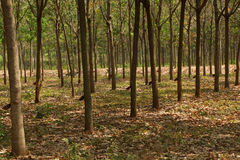 Rows of rubber trees Stock Photo