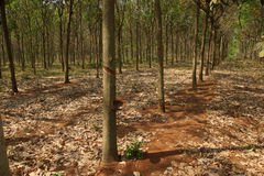 Rows of rubber trees Stock Photography