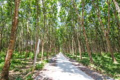 Rows of rubber trees, Royalty Free Stock Images