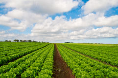 Rows of salad Royalty Free Stock Photography