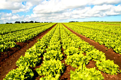 Rows of salad Royalty Free Stock Image