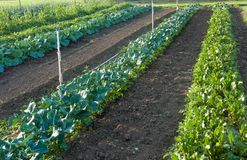 Rows of salad greens at community garden. Large rows of salad greens in a tilled field at the community garden stock photography