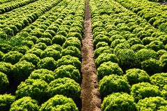 Rows of salad Royalty Free Stock Images