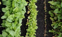 Rows of salad vegetables in growing in plot. Rows of green salad leaf vegetables growing in plot Stock Image