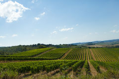 Rows of Sangiovese grapes in Tuscany Royalty Free Stock Photo