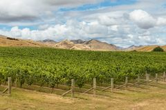 Rows of Sauvignon Blanc grapevine growing in vineyard in New Zealand Stock Photos