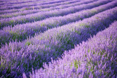 Rows of scented lavender in a field. Stock Photos