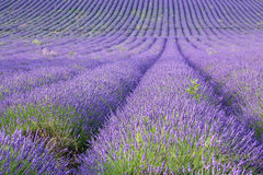 Rows of scented lavender in a field. Stock Image