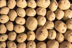Rows of Seed Potatoes Stock Photos