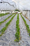 Rows of seedlings Stock Photography