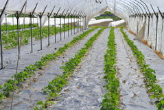 Rows of seedlings Stock Image