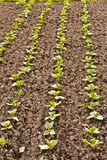 Rows of seedlings Royalty Free Stock Images