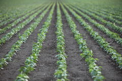 Rows of seedlings on the farm Stock Photo