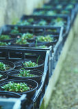 Rows of seedlings Stock Photo