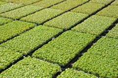 Rows of seedlings in a nursery Stock Image
