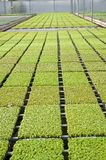 Rows of seedlings in a nursery Royalty Free Stock Photography