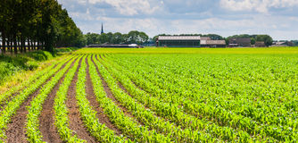 Rows of silage maize plants in a rural landscape Royalty Free Stock Images