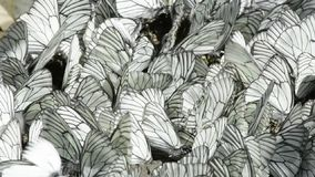 Rows of sitting white and black striped butterflies stock video