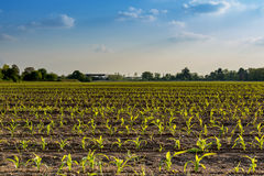 Rows of small corn plants from organic farming in Italy with blu Royalty Free Stock Photography